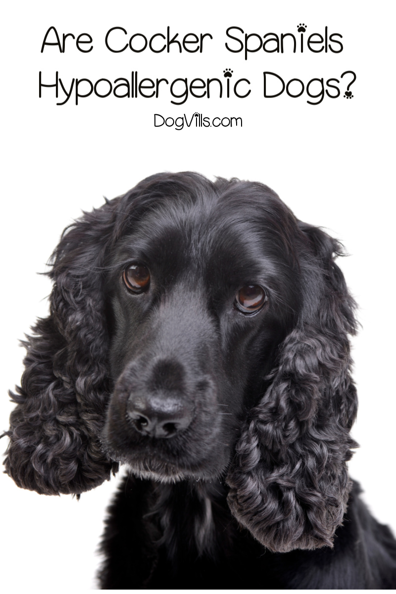 Are Cocker Spaniels Hypoallergenic Dogs?