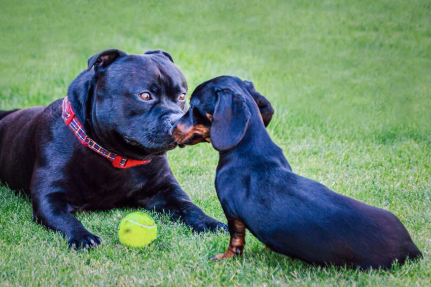 Have you ever heard about a Pitbull mixed with a Dachshund? Yes, they actually do exist. Here's everything you need to know about them, including potential health problems!