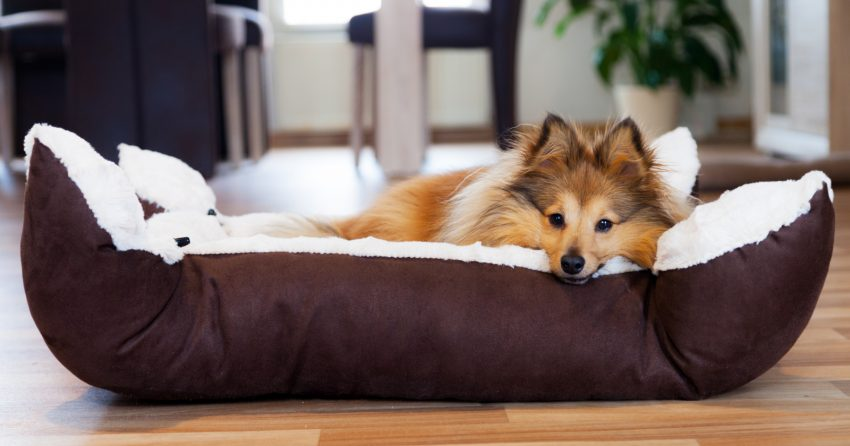 Wondering why your dog flips his bed over, carries it around, or does other strange things with it besides just sleep on it? Read on for the answers!