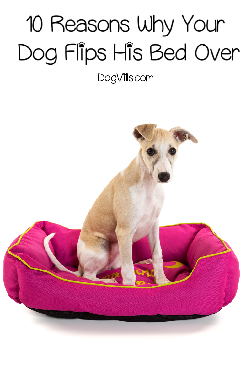 10 Reasons Why Your Dog Flips His Bed Over