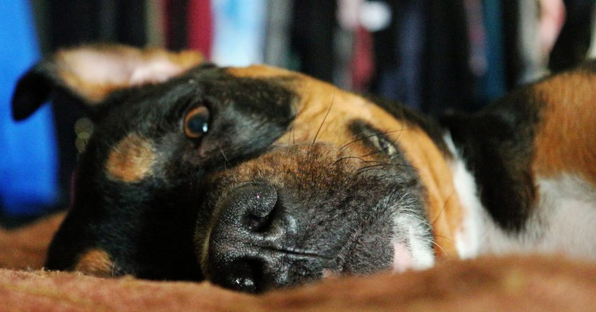 Thinking about adopting a pit bull mixed with a rottweiler, but not sure if it's the right mix for you? Read on for a complete guide to the pittweiler!
