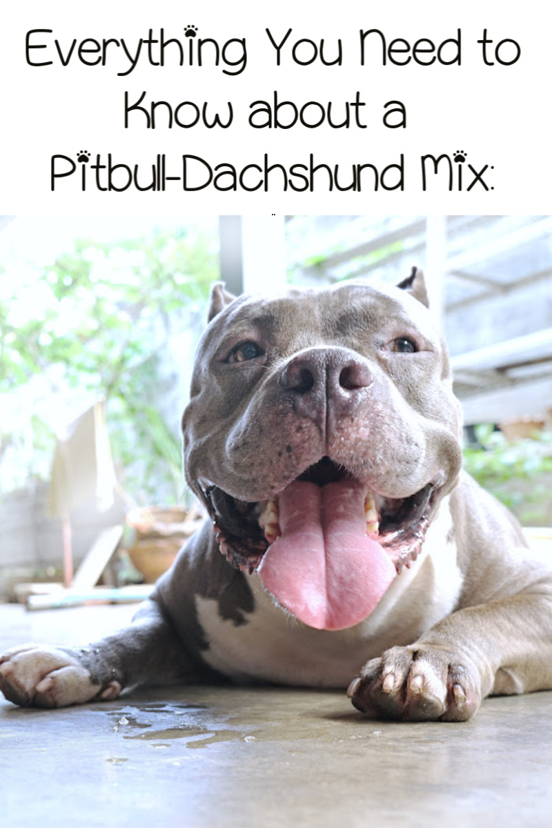 Pitbull-Dachshund Mix: Everything You Need to Know
