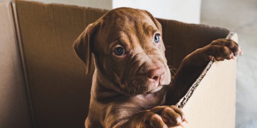 If you're looking for strong dog names for pitbulls, we've got you covered! These 100 ideas are every bit as mighty as the breed itself! Take a look!