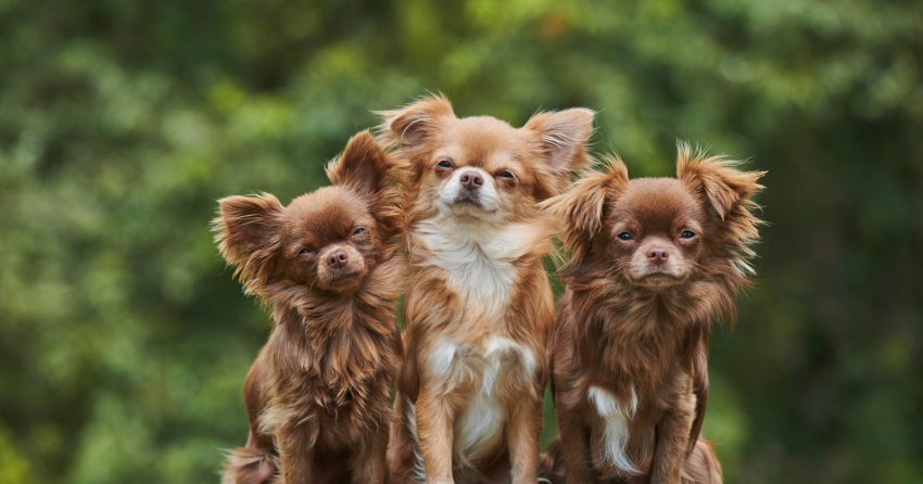 They're definitely one of the most popular small breeds, but are chihuahuas hypoallergenic dogs? Read on to find out the answer!