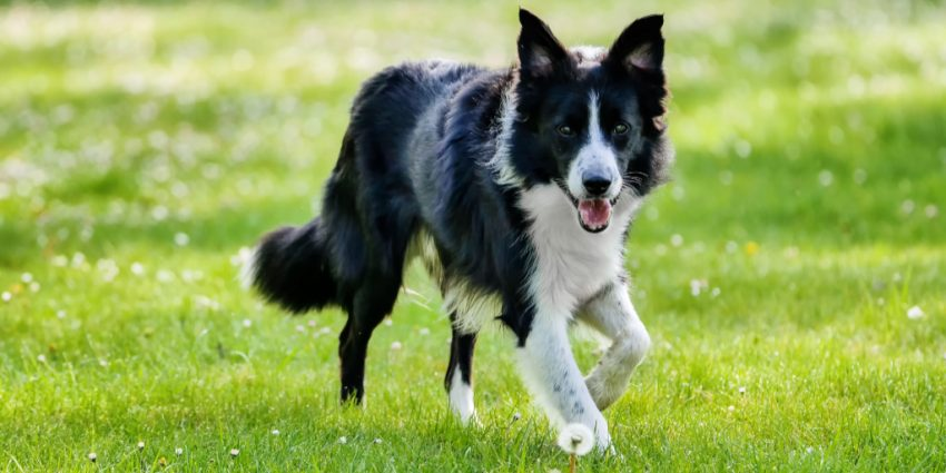 These 7 most attentive dog breeds are loyal, smart, and easy to train. So, if you're looking for a companion that will stick by you, check them out!