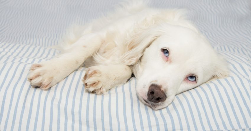 Chronic kidney failure is a degenerative condition, but it can be managed. Read on to learn more and how to keep a dog with kidney failure comfortable.