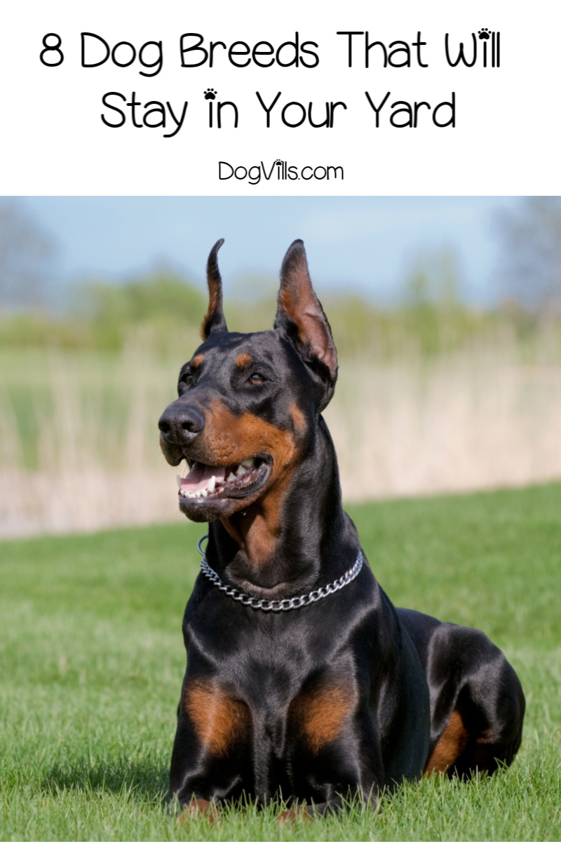 8 Dog Breeds That Will Stay in the Yard