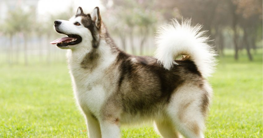 Alaskan Malamute are one of the dogs that shed the most.