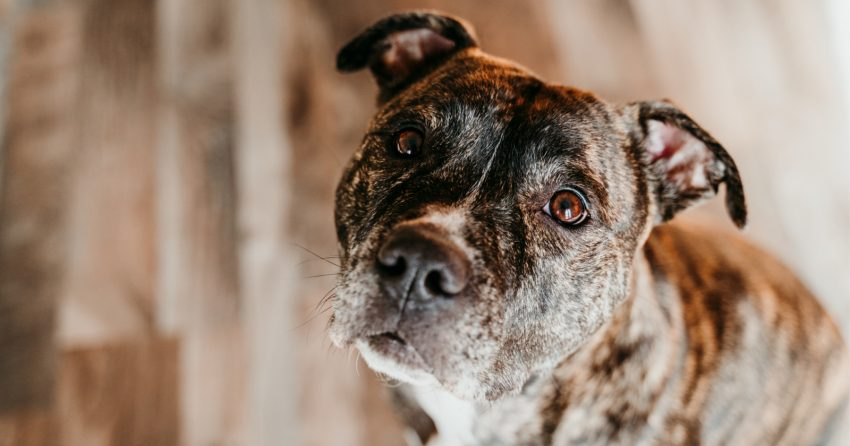 Have you ever wondered if Pitbulls make good therapy dogs? Given their unearned reputation, the answer may surprise you! Find out!
