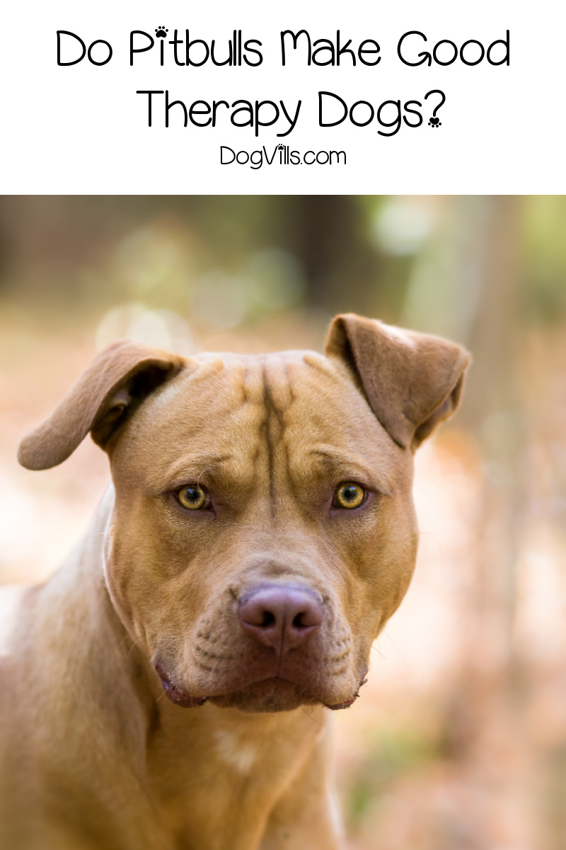 Do Pitbulls Make Good Therapy Dogs?