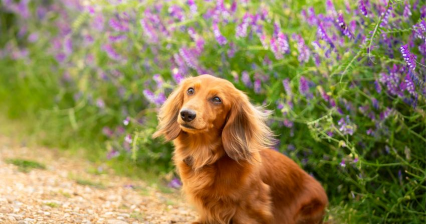 Curious about the best dog breeds for nurses who live alone? Check out our list! Plus, learn what to consider before adopting.