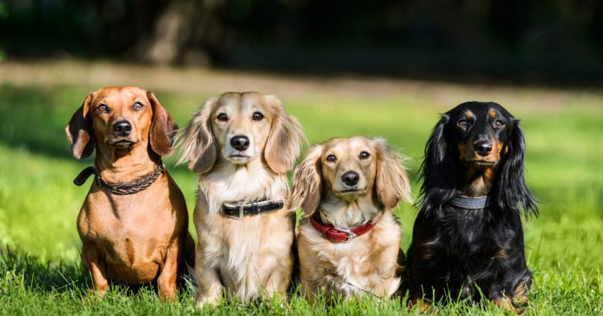 It's time to think outside the hot dog puns and find some truly unique Dachshund names! Check out 100 that we think are wonderful!