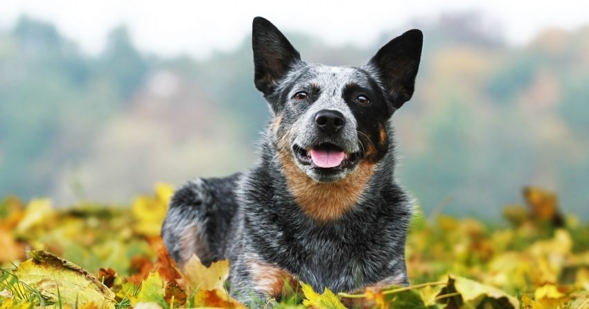 Another dog breed with low vet bills is the Australian Cattle dog, aka Blue Heeler.