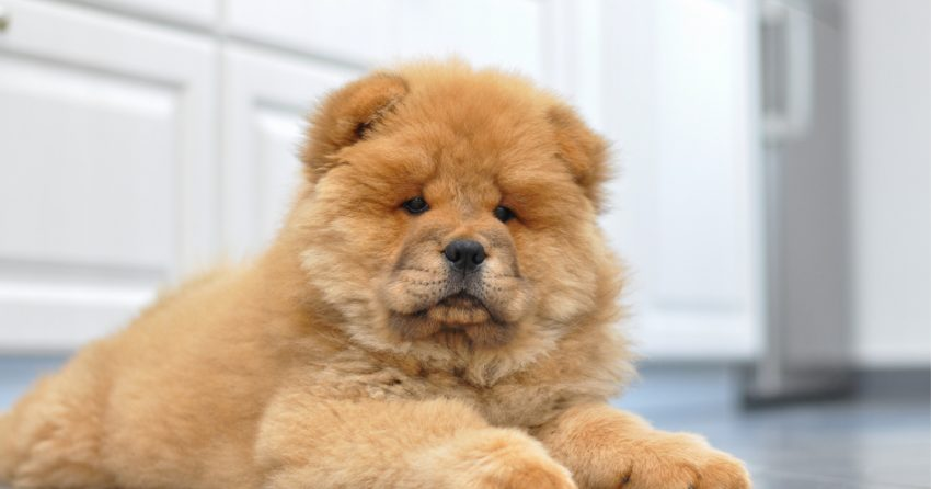 Chows look just like teddy bears!