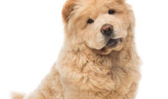 Looking for the cutest dog breeds that look like teddy bears? Take a peek at these 7 cuties that are practically plush toys comes to life!