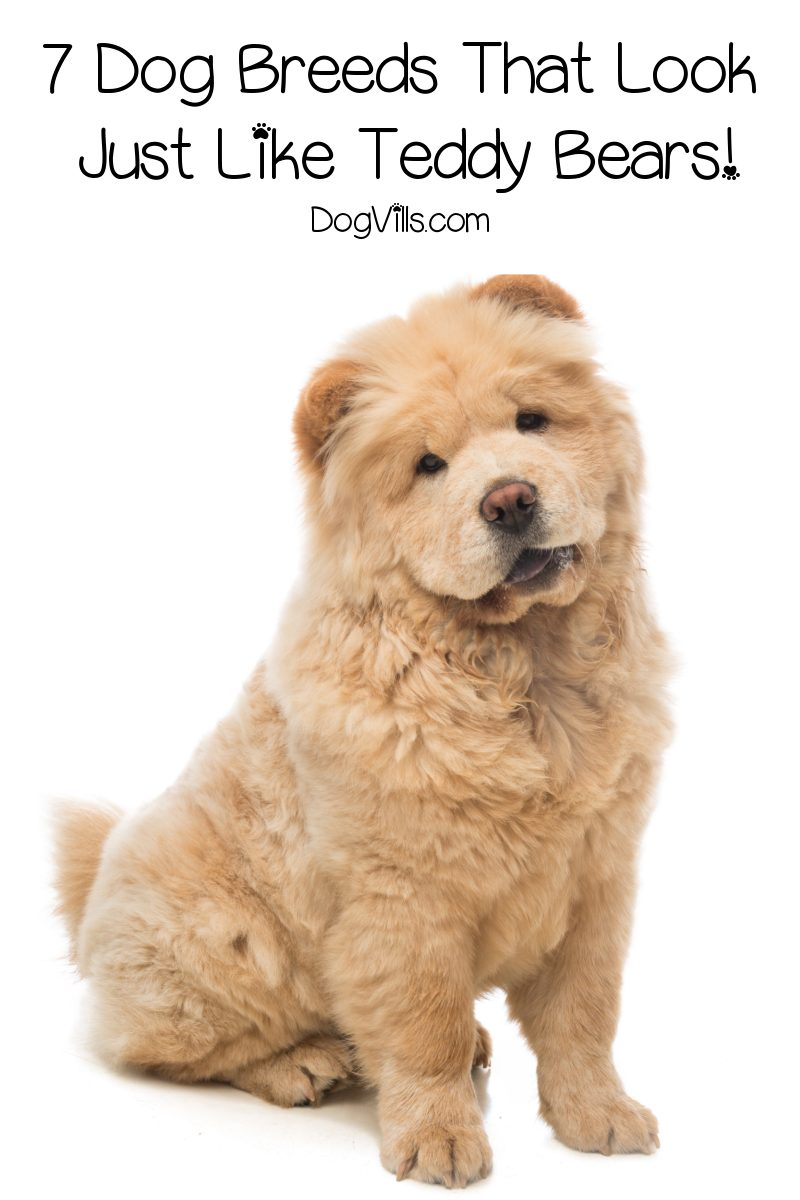 7 Dog Breeds That Look Like Teddy Bears
