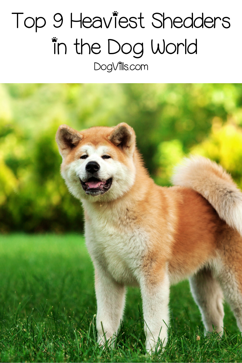 9 Dog Breeds That Shed the Most