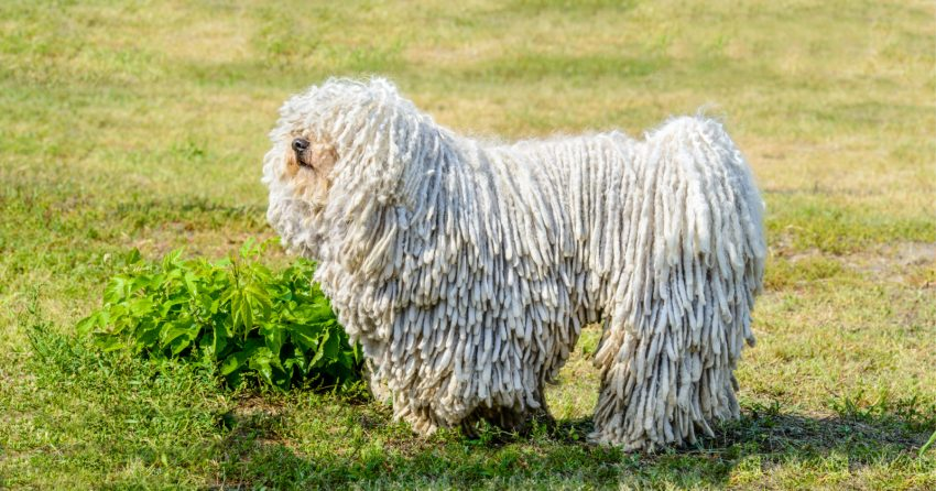 The  Komondor is a great hypoallergenic guard dog