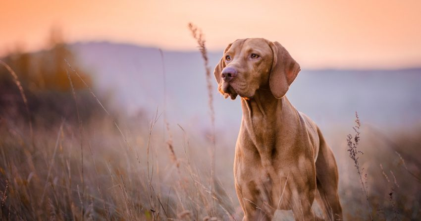 Wondering about dog breeds prone to anxiety? While all dogs can get nervous at times, these 7 take it to new levels. Take a look!