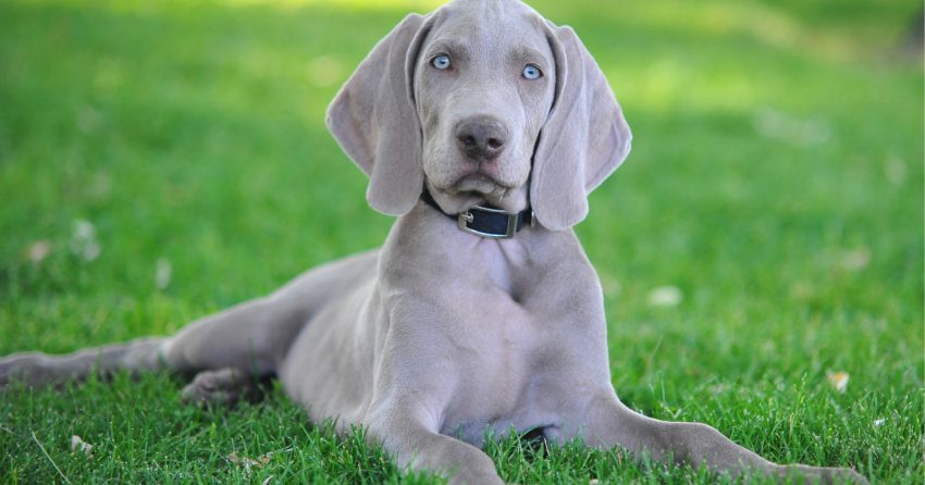 Looking for the best dog beds for Weimaraners? We've got you covered! Find out what makes up a top-tier dog bed, then check out five we love!