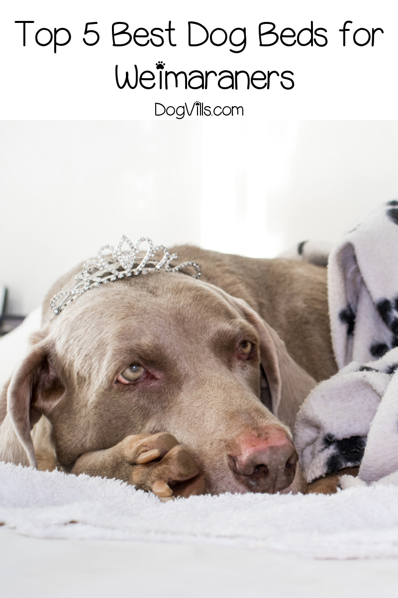 Top 5 Best Dog Beds for Weimaraners (with Reviews)