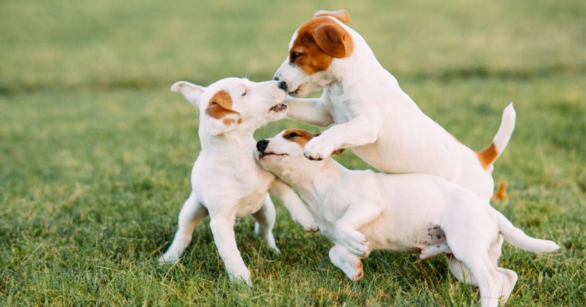When can puppies go outside? Know the answer to that will help you safely train and socialize your new dog. Read on to learn more!