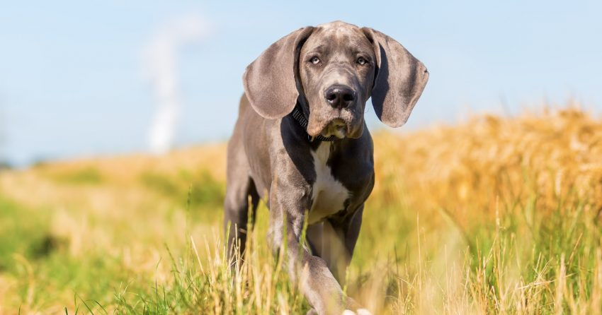 Choosing the best puppy food for giant breeds is an important part of raising a healthy horse of a dog! Check out our top picks!