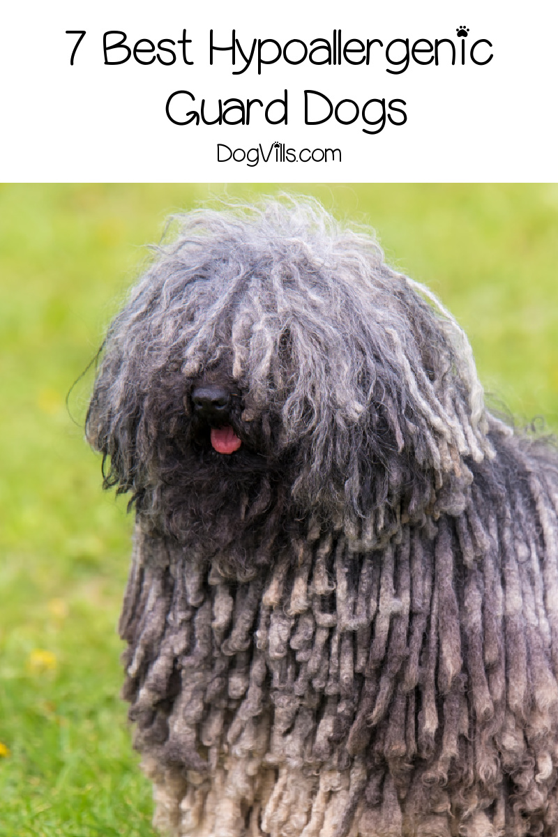 7 Best Hypoallergenic Guard Dogs