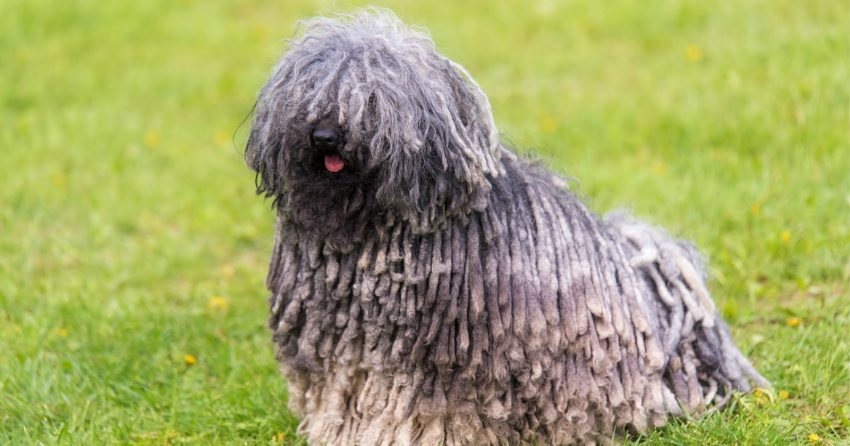 Puli dog breed