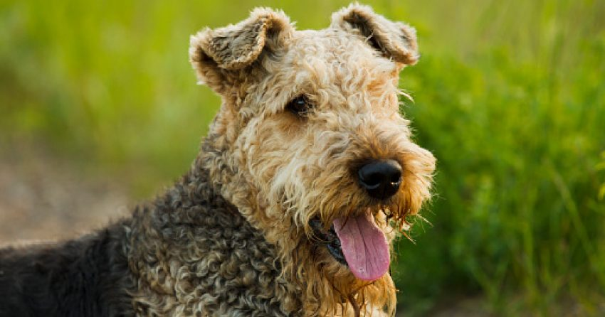 The Airedale terrier is one of the dog breeds that sleeps the least