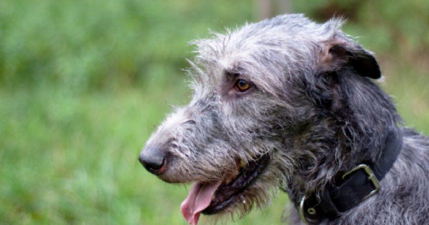 Irish Wolfhound, one of the sleepiest dog breeds