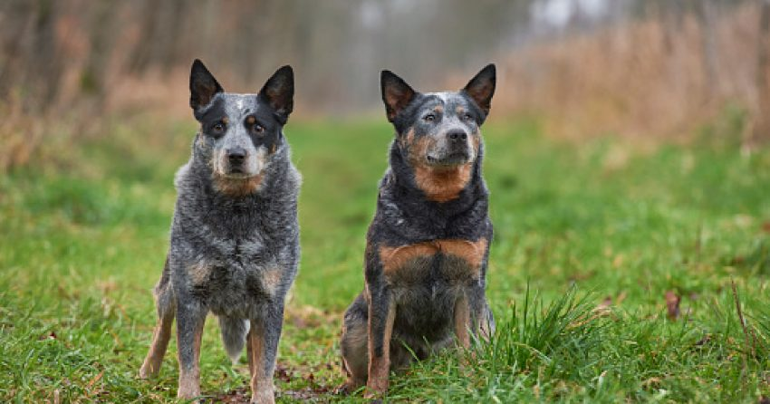 If you're searching for some of the best male and female Blue Heeler names, we've got you covered! Check out 100 that we just adore!