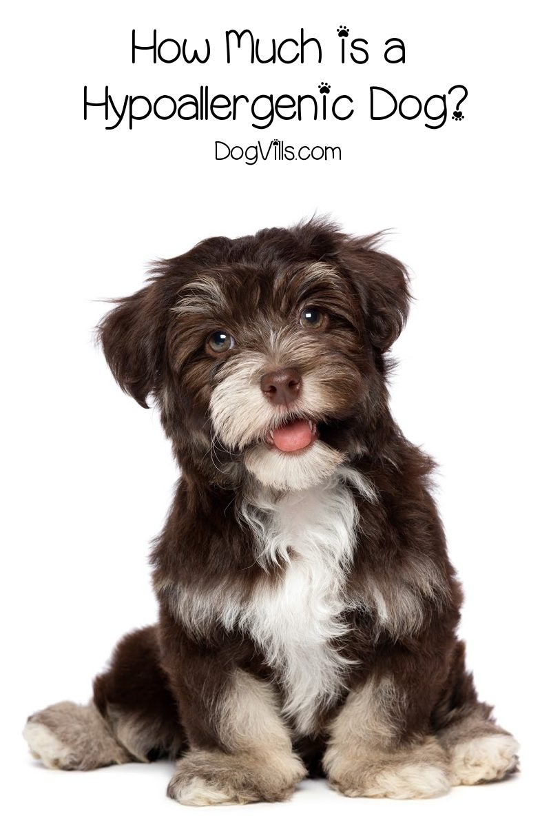 Just How Much is a Hypoallergenic Dog?
