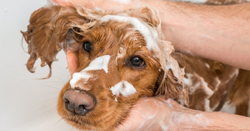 When your pup has sensitive skin, picking the best hypoallergenic dog shampoos and conditioners is vital. Check out 7 we recommend!