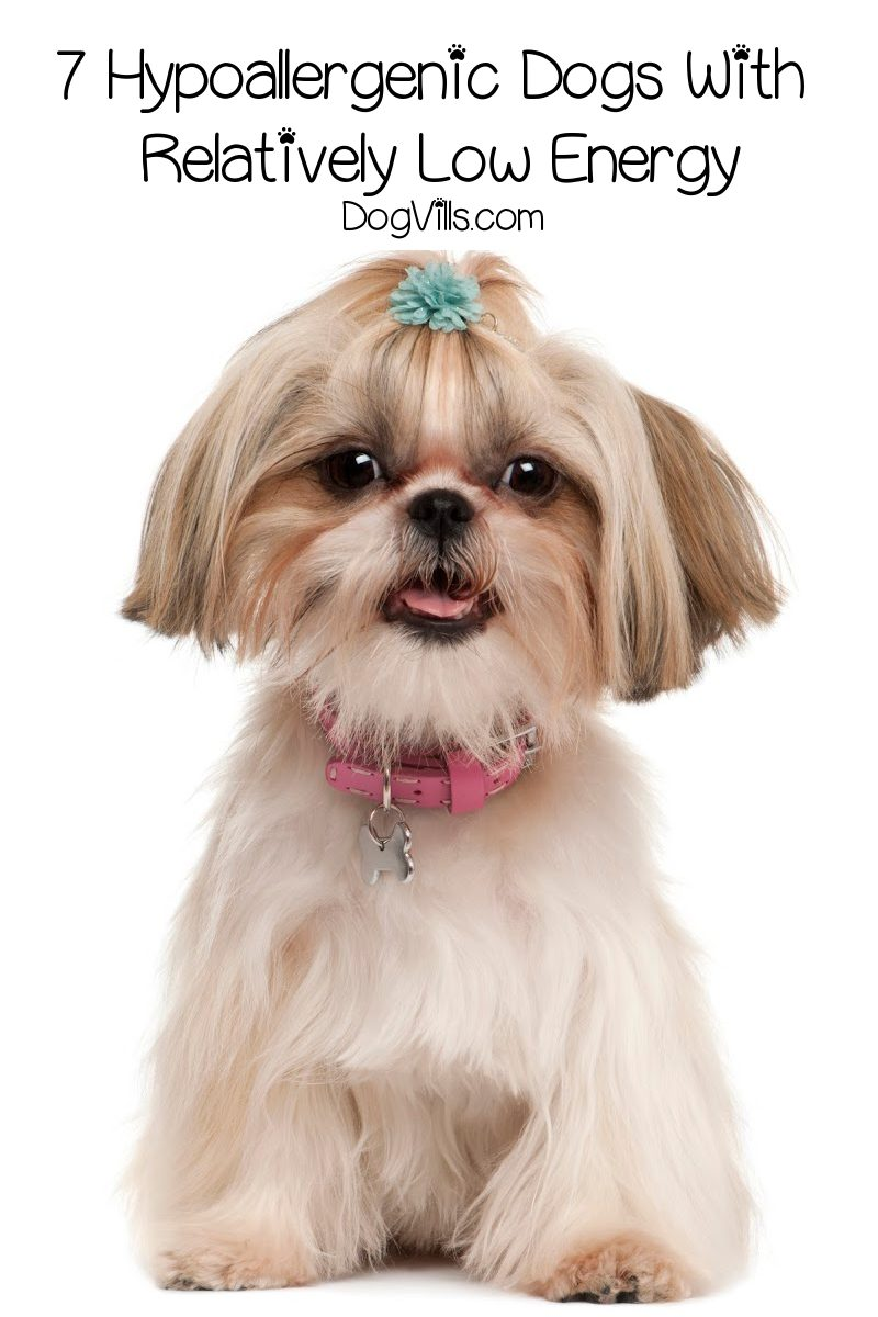 7 Magnificent Hypoallergenic Dogs With Low Energy
