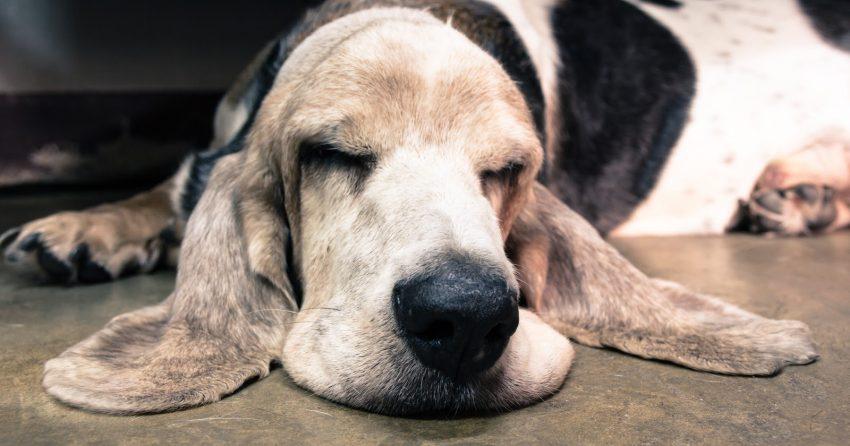 Old Basset Hound sleeping on the floor