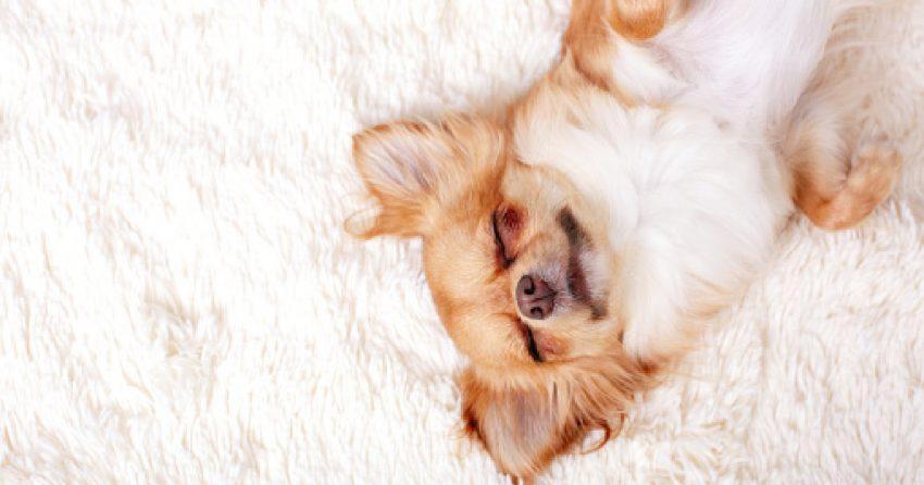 Cute ginger chihuahua a sleep on a white carpet.