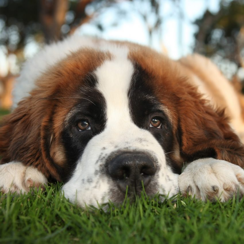 The Adorable Saint Bernard is one of the sleepiest dog breeds ever.