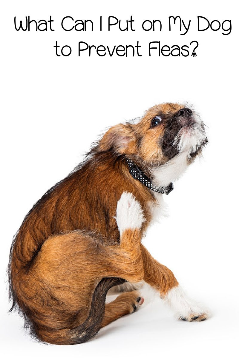 What Can I Put on My Dog to Prevent Fleas? (Definitive Answer)