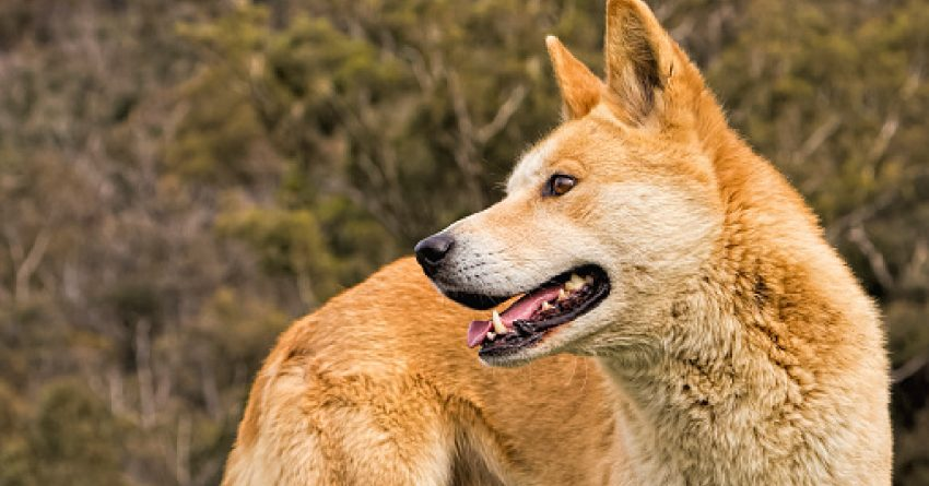 The family-oriented Carolina Dog temperament and their extremely good health make them excellent pets. Read on for a detailed guide!