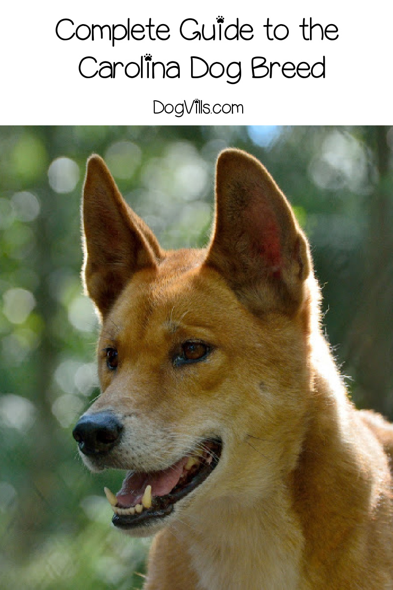 Are Carolina Dogs Good Pets? (Detailed guide: Temperament and Facts)