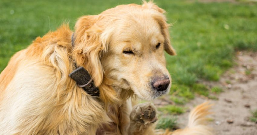 Do all dog breeds get fleas? The short answer is yes. But some dogs are attacked by far than others. Here is everything there is to learn.