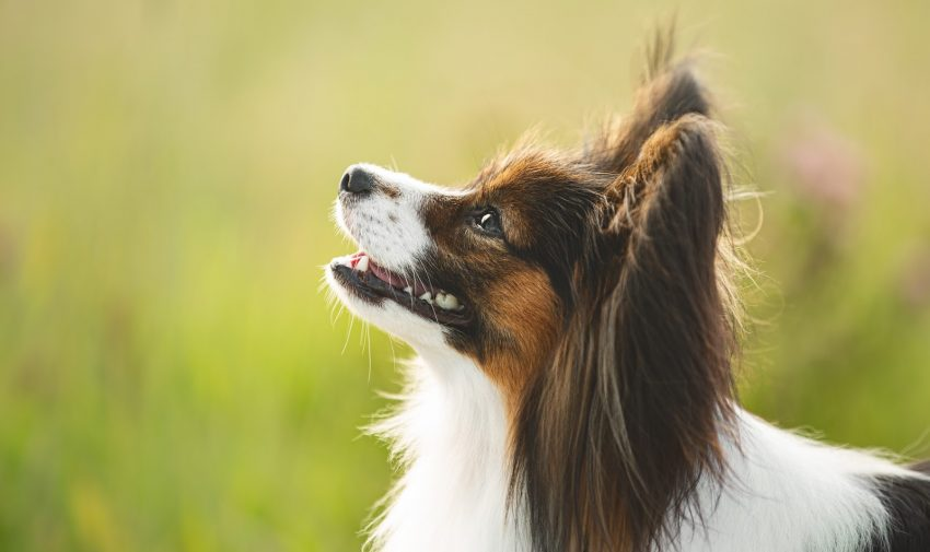 "Are Papillons hypoallergenic? We're answering that questions, along with many others about this sweet ""butterfly"" dog breed! Check it out!"