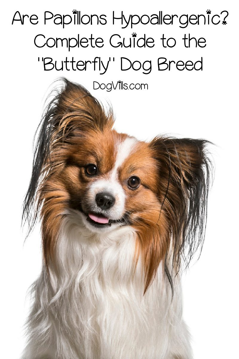 "Are Papillons Hypoallergenic? Complete Guide to the ""Butterfly"" Dog Breed"
