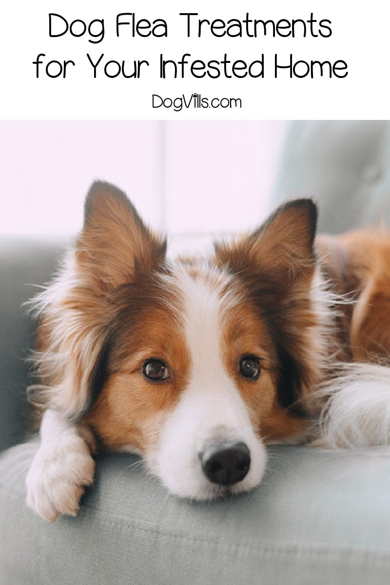 Dog Flea Treatments for the Home – What to Do if Your Home is Infested