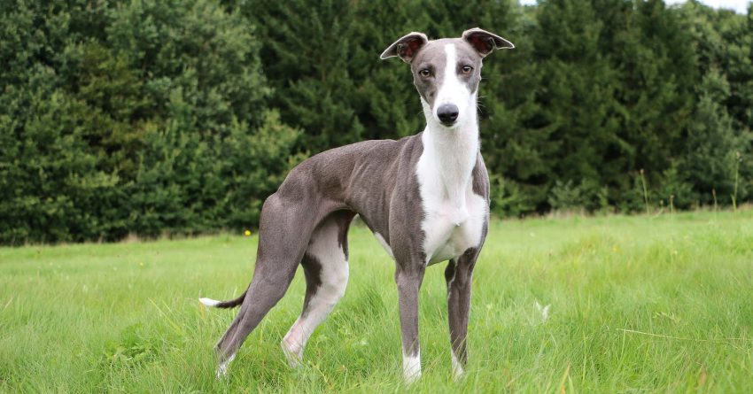 Whippets and Greyhounds are both wonderful dog breeds that are often confused for each other. Learn the difference between them!