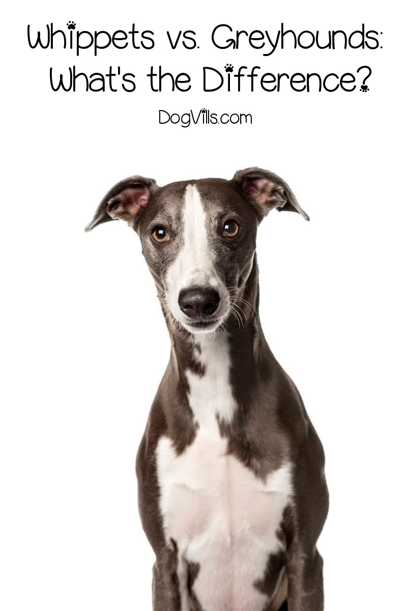 Whippets vs. Greyhounds: What's the Difference Between These Magnificent Sighthounds?